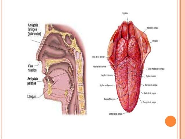 Anatomia de adenoides y de la lengua.