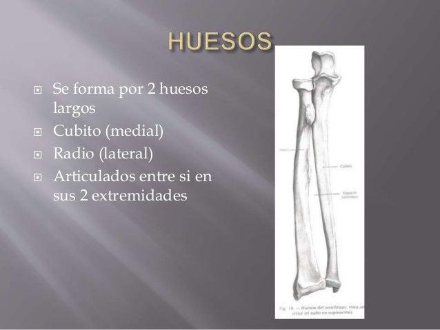 Anatomia de antebrazo (2) Slide 2