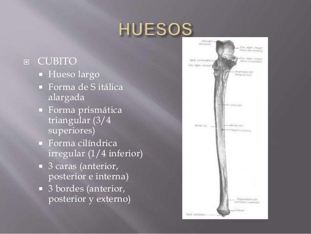 Anatomia de antebrazo (2) Slide 3