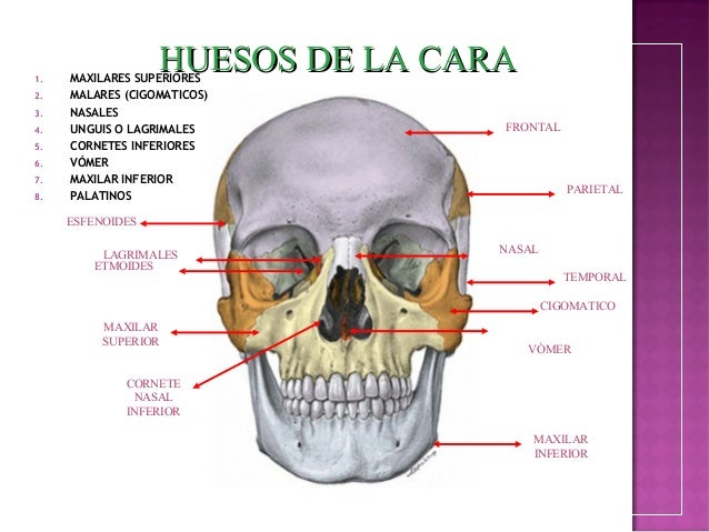 Anatomia de cabeza