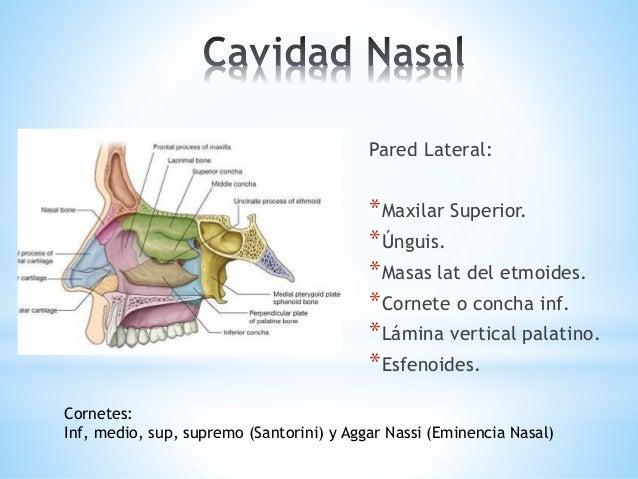Anatomía de cavidad nasal Introducción