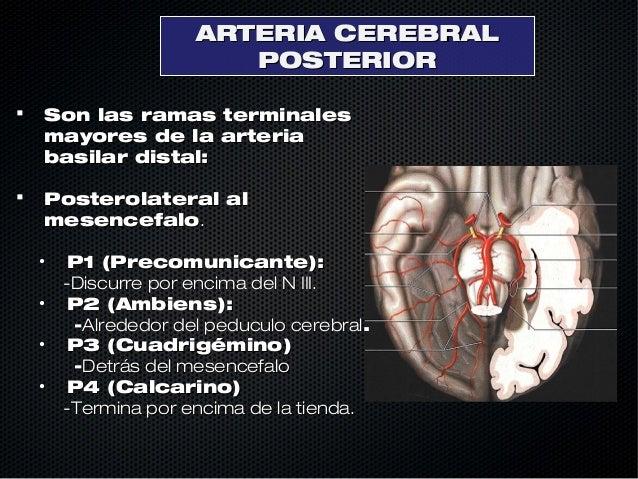 Anatomia de cerebral arterial