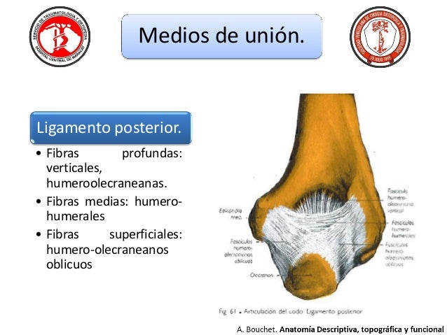 Anatomia de codo