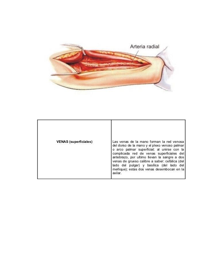Anatomia de corazon y arterias