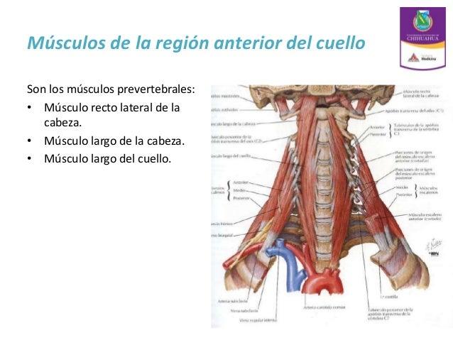Anatomia de cuello