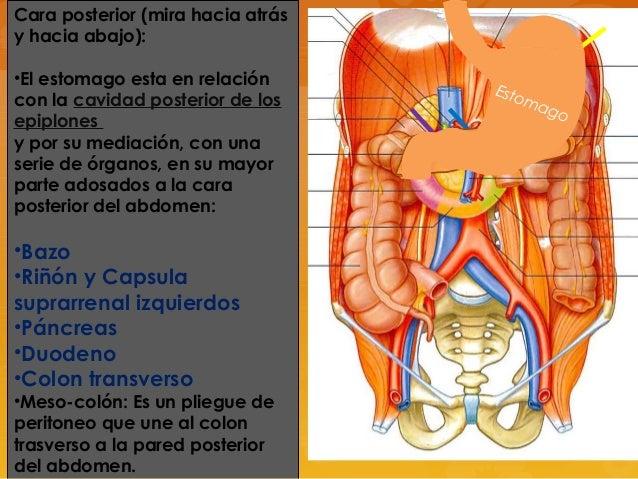 Anatomia de estomago