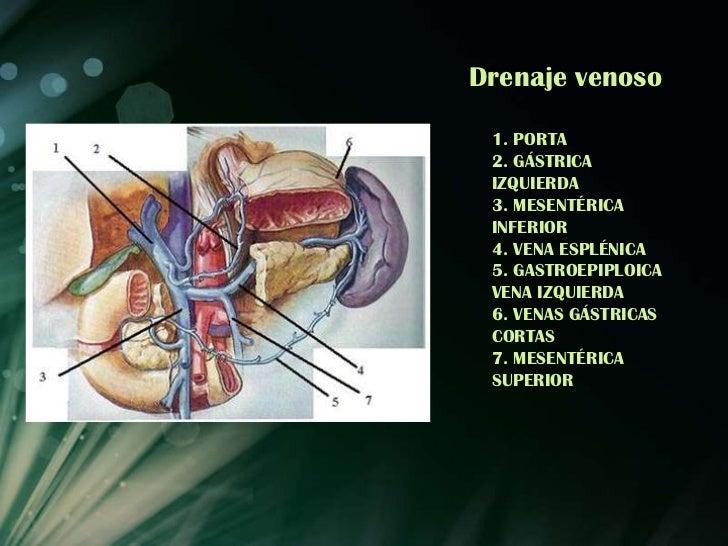 Anatomia de estomago e intestinos