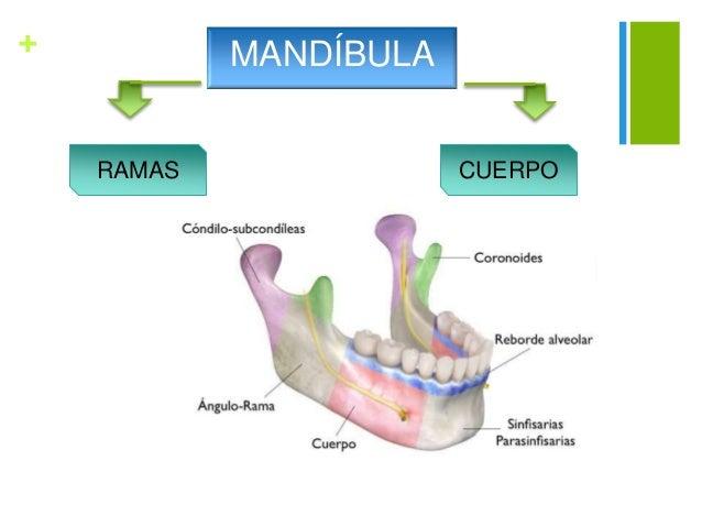Modificaciones de la anatomia maxilar y mandibular por perdida de pie…