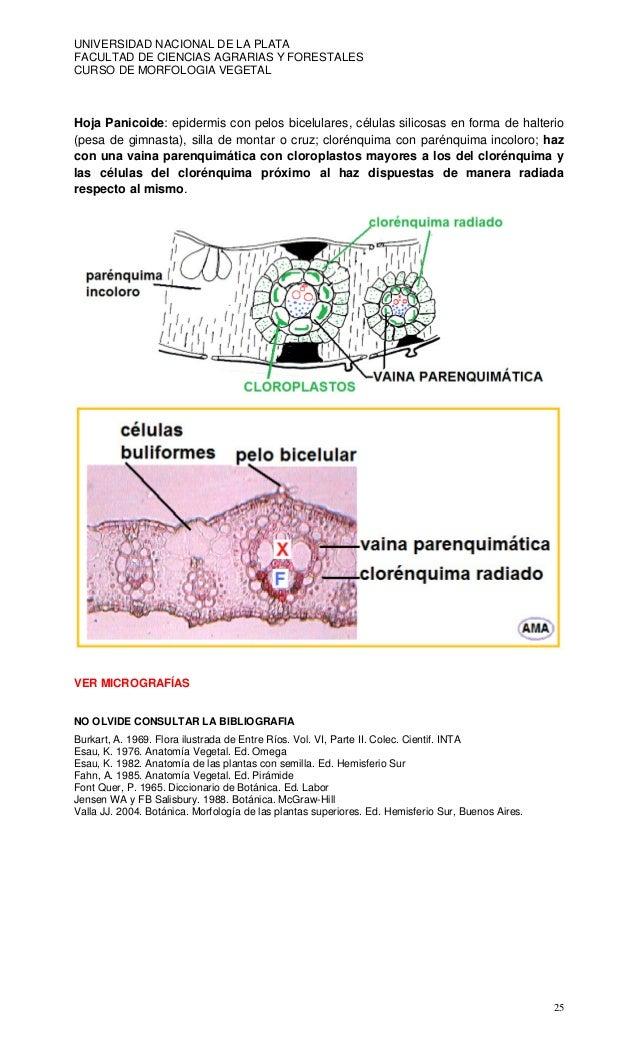 Anatomia de hojas