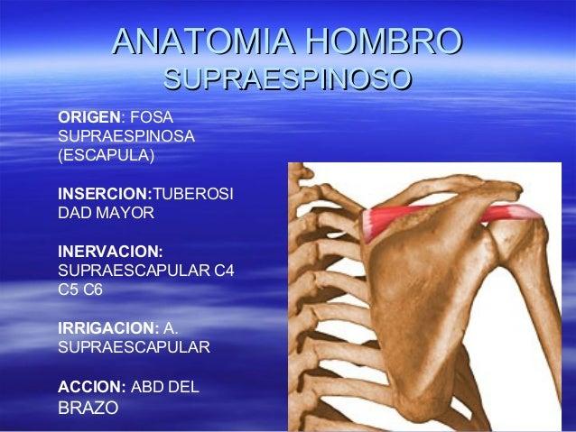 Anatomia de hombro (2)