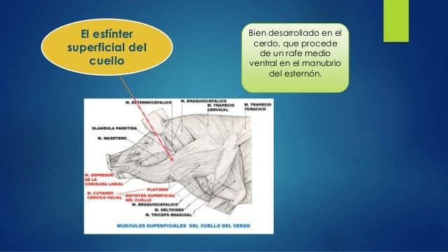 Anatomia del sistema muscular