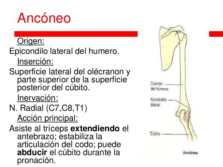 Anatomia de la articulación del codo