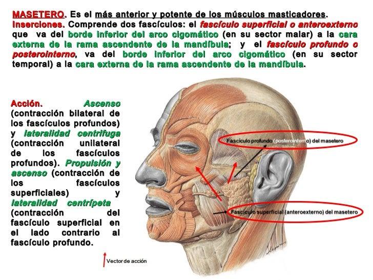 ANATOMIA DE LA ARTICULACION TEMPOROMANDIBULAR MUSCULOS MASTICADORES Y…
