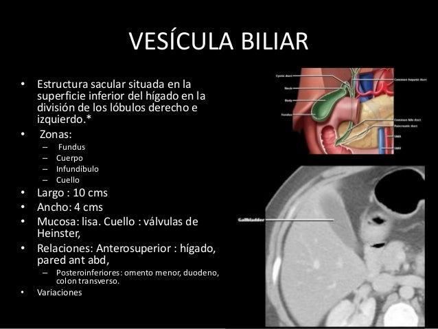 PÁNCREAS • Situado en la pared abdominal posterior. • Retroperitoneal. • Se describe: – Cabeza – Cuello – Cuerpo – Cola. •...