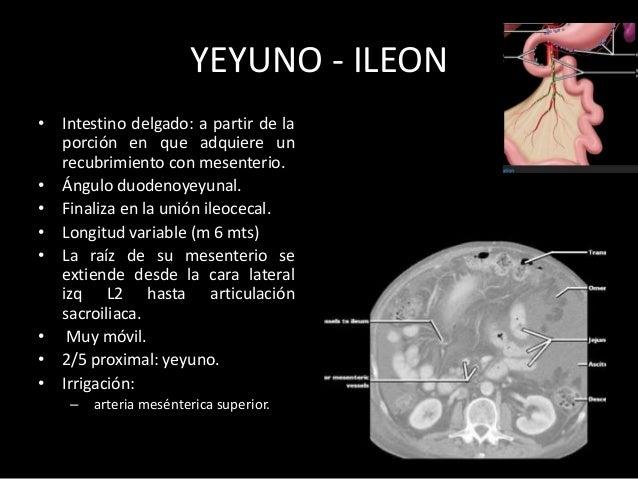 APÉNDICE El apéndice nace de la convergencia de las tenia coli en la pared posteromedial del ciego. 2 cms por debajo de la...