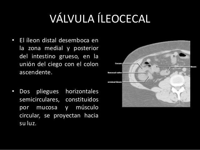 INTESTINO GRUESO • Relaciones: – posteriormente: estructuras de la pared posterior abdominal. colon transverso y sigmoides...