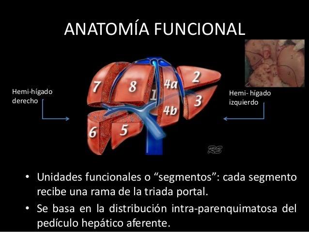 """ANATOMÍA FUNCIONAL • Unidades funcionales o """"segmentos"""": cada segmento recibe una rama de la triada portal. • Se basa en l..."""