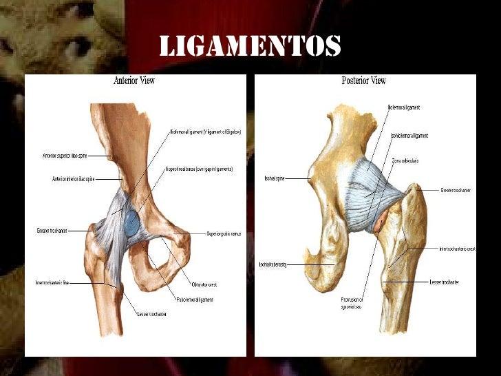Anatomia de la cadera