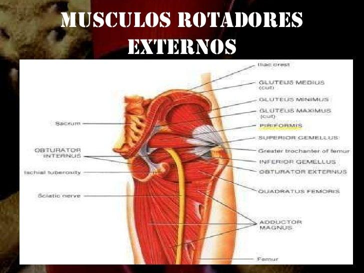 Lujo Músculo De La Cadera Anatomía Festooning - Anatomía de Las ...