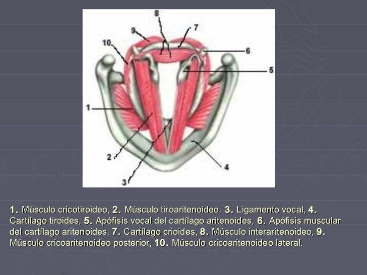Anatomia de la laringe