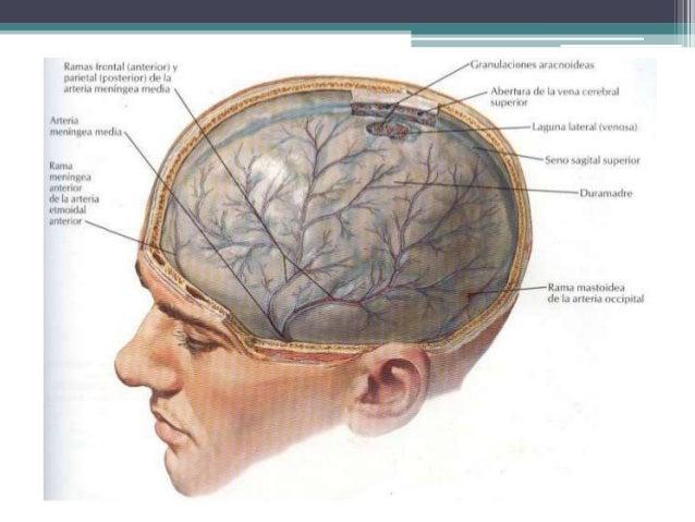 Anatomia de la medula espinal y meninges