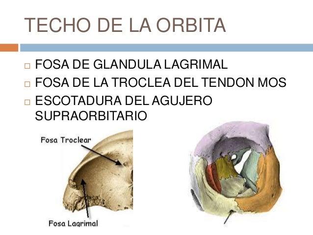 Anatomia de la orbita ocp