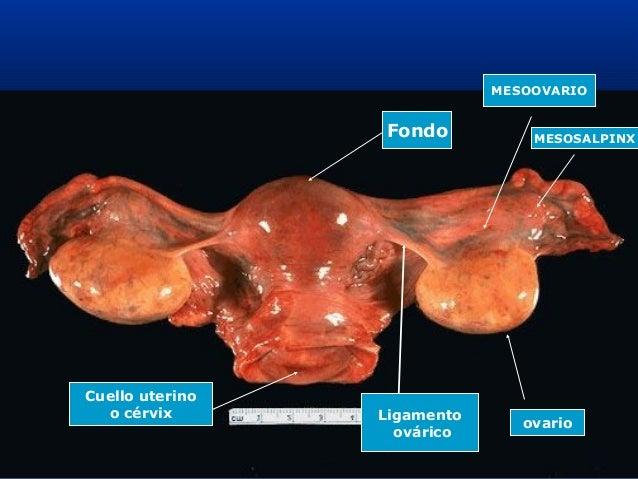 anatomia-del-aparato-reproductor-femenino-28-638.jpg?cb=1364599376