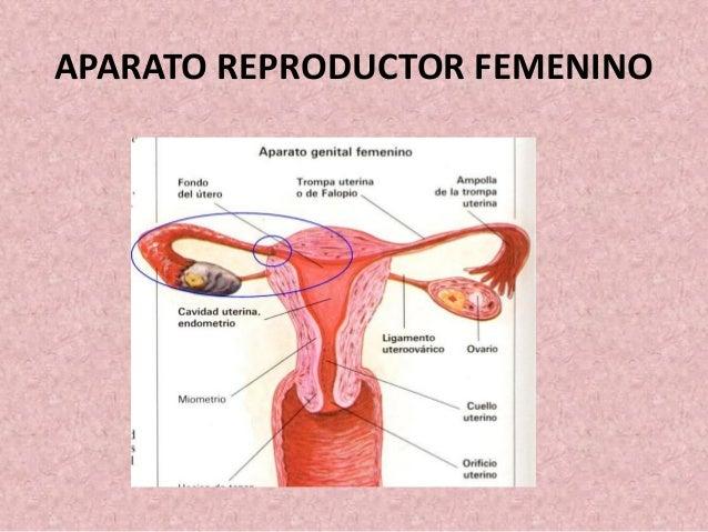 ANATOMIA Y FISIOLOGIA NOCTURNO: Anatomia del Aparato Reproductor Feme…