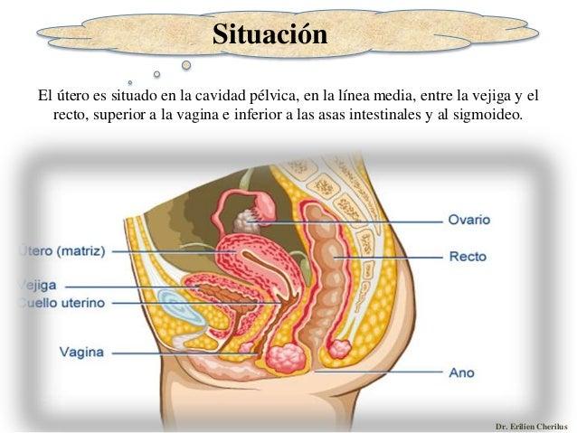 Anatomia del Aparato Seproductor Femenino - Parte II