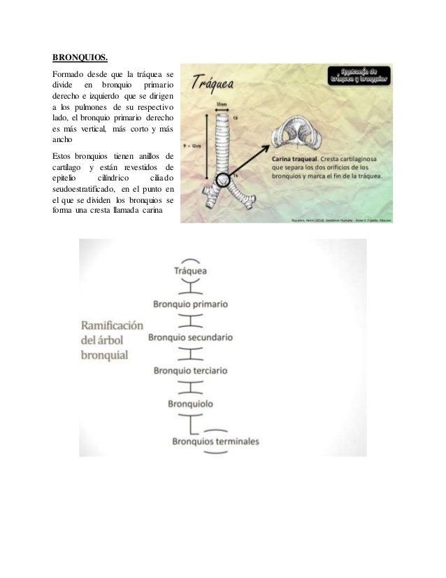 Increíble Anatomía árbol Traqueobronquial Colección - Anatomía de ...