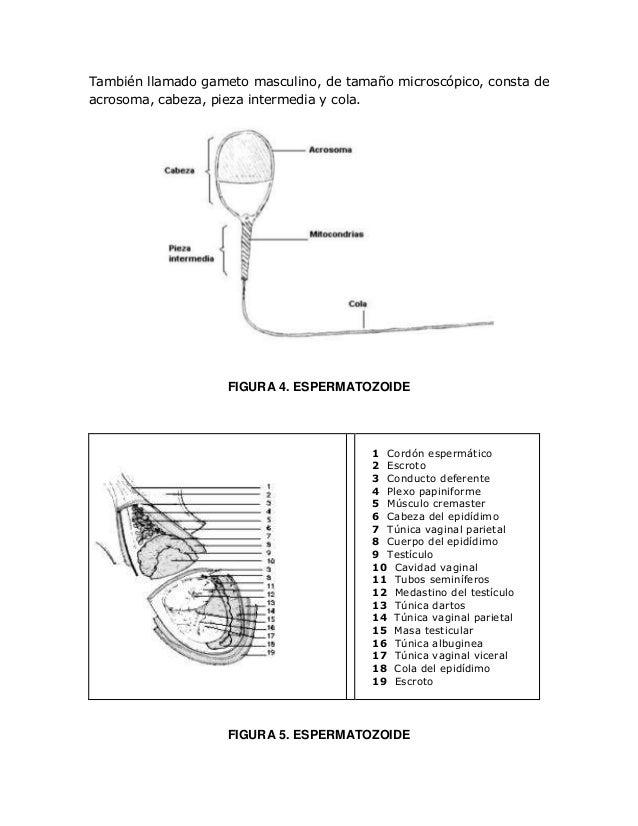 Doc.Anatomia del aparto reproductor masculino de bovino macho