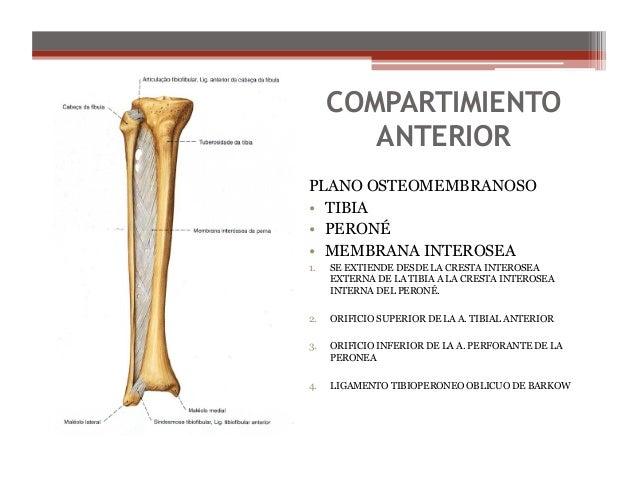 Anatomia de la pierna