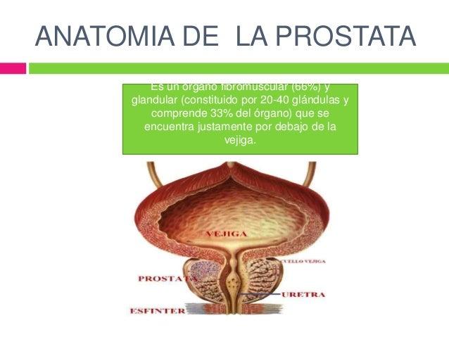 Anatomia de la prostata