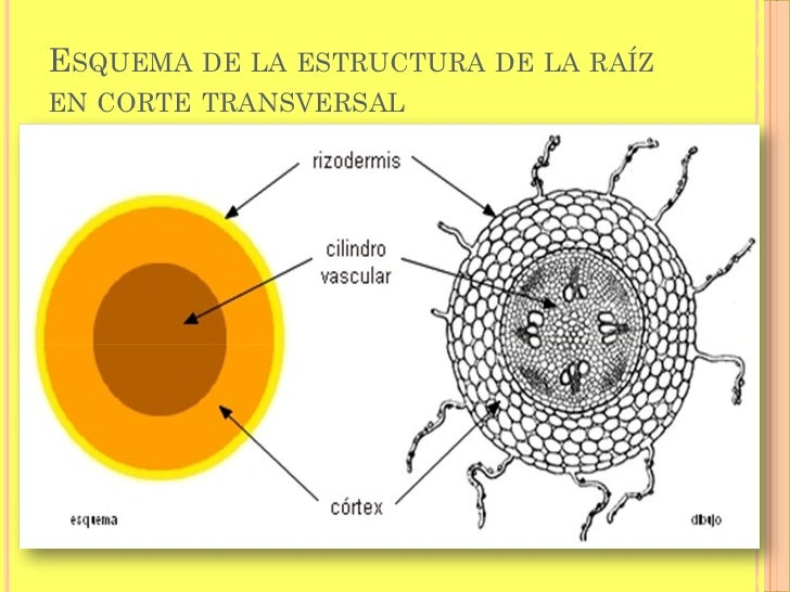 Excepcional Anatomía De La Raíz Molde - Anatomía de Las Imágenesdel ...