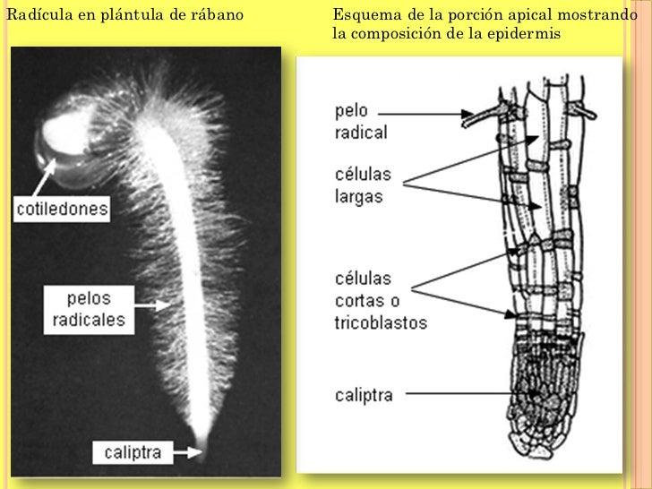 Lujoso Diagrama De La Anatomía De Pelo Bosquejo - Anatomía de Las ...