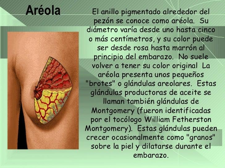 Anatomia de las glandulas mamarias