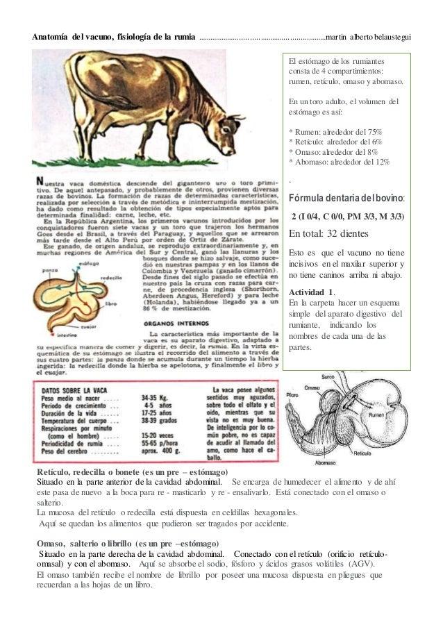 Anatomía de la vaca, fisiología de la rumia