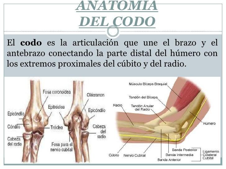 Anatomia del codo