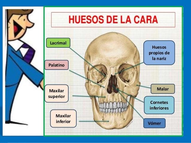 Anatomia del craneo.musculos.huesos y nervios
