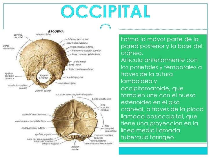 Anatomia del craneo y torax