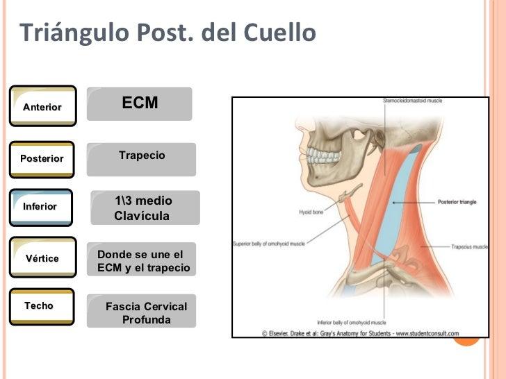 Anatomia del cuello definitiva