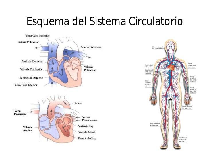 anatomia del cuerpo humano 8 728