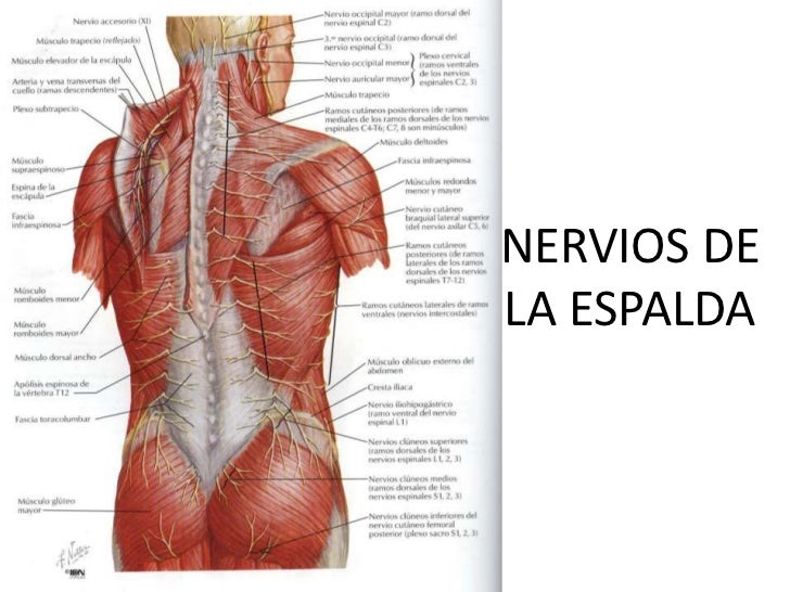 Bonito Nervios De Espalda Anatomía Bosquejo - Anatomía de Las ...