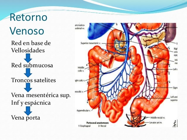 Anatomia del intestino grueso y delgado