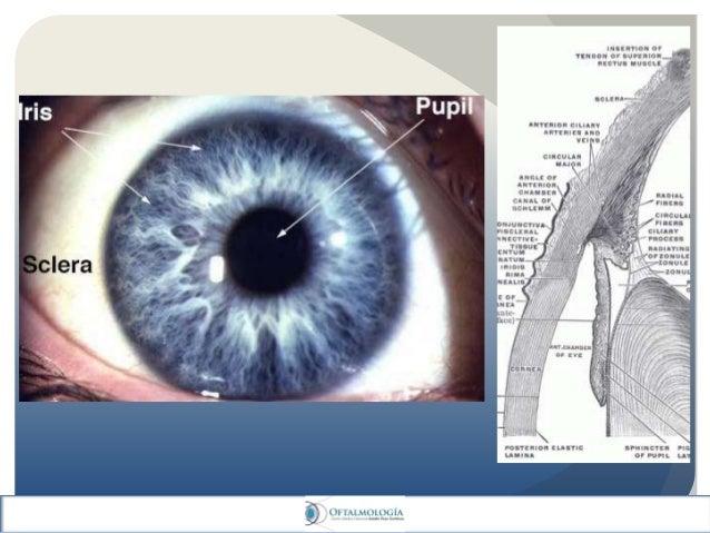Anatomia del iris, cuerpo ciliar y pars plana y plicata