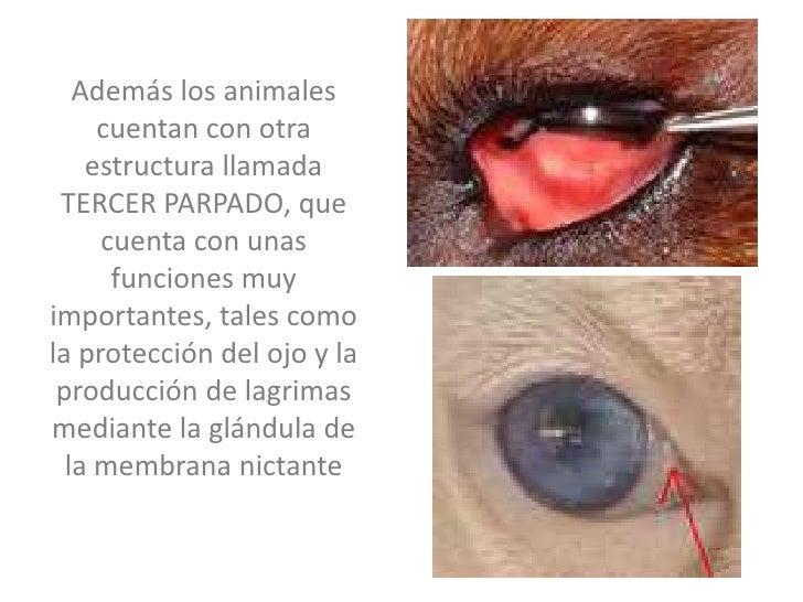 Anatomia del ojo animal