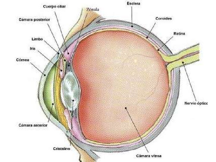 Anatomia del ojo animal