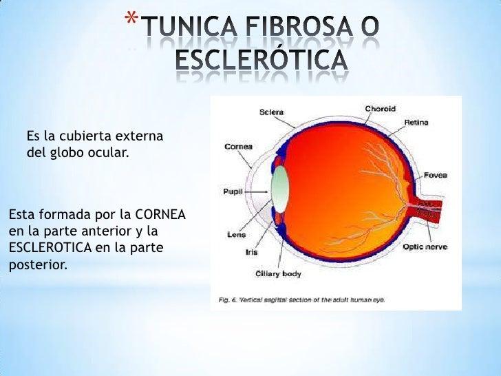 Anatomia del ojo Slide 3