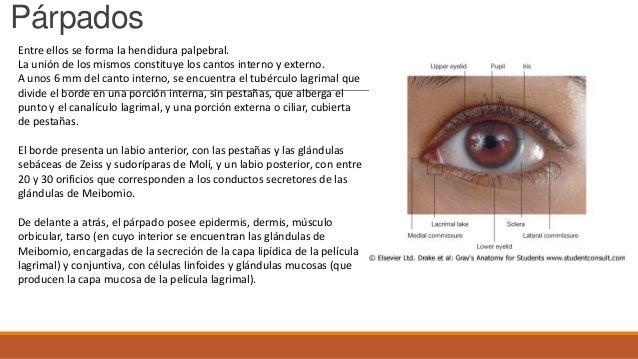 Anatomia del ojo - cto