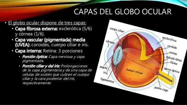 Anatomia del ojo paul listo